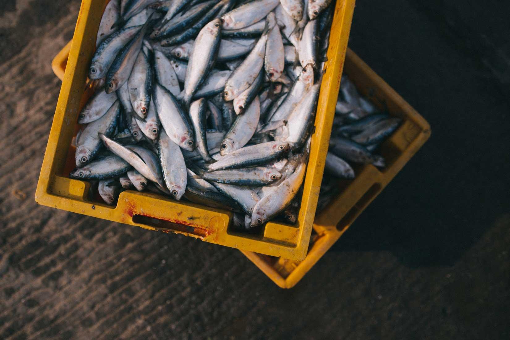 Ikan Toman Sebagai Sumber Alternatif Terbaru Dalam Penyembuhan Luka Ismut Fitomedika
